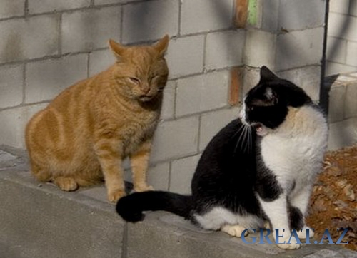 Angry talking cats