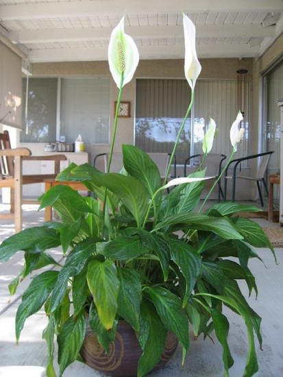 Ən əlverişli otaq bitkiləri: ailəyə uğuru və əmin-amanlığı gətirirlər